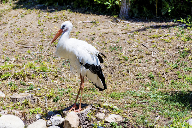 Stork. On the green grass in Marineland waterpark zoo ,Spain royalty free stock photos