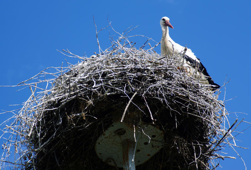 Stork Guards Its Nest. Stork guards nest in a small village in Belorussia royalty free stock images