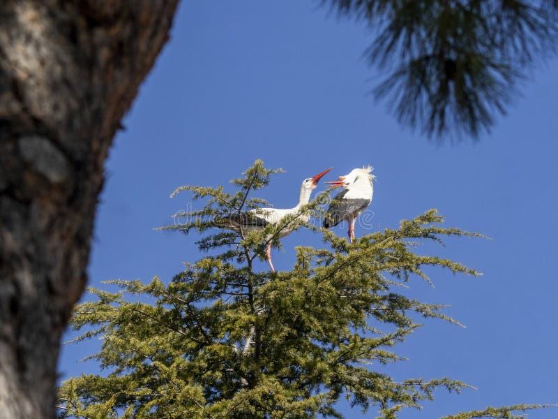 Stork i Boadilla del Monte, Madrid, Spanien royaltyfri foto