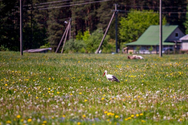 Stork i lantlig äng royaltyfri fotografi