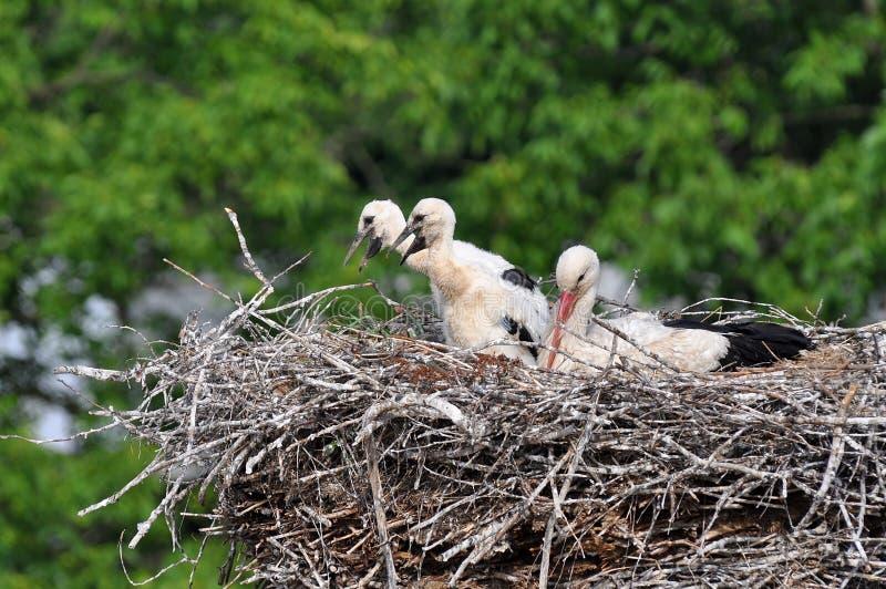 stork with its baby bird stock image image of bill bird 15370225