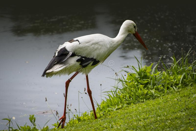Stork in its natural habitat. White stork walking on a green meadow royalty free stock images