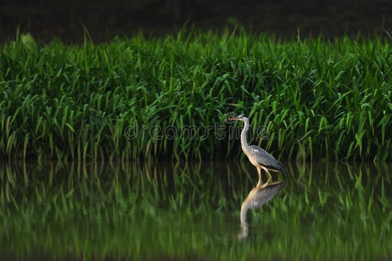 Stork on the lake. In the morning royalty free stock image