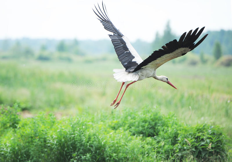 Download Stork on a meadow stock image. Image of wing, wild, white - 39512791