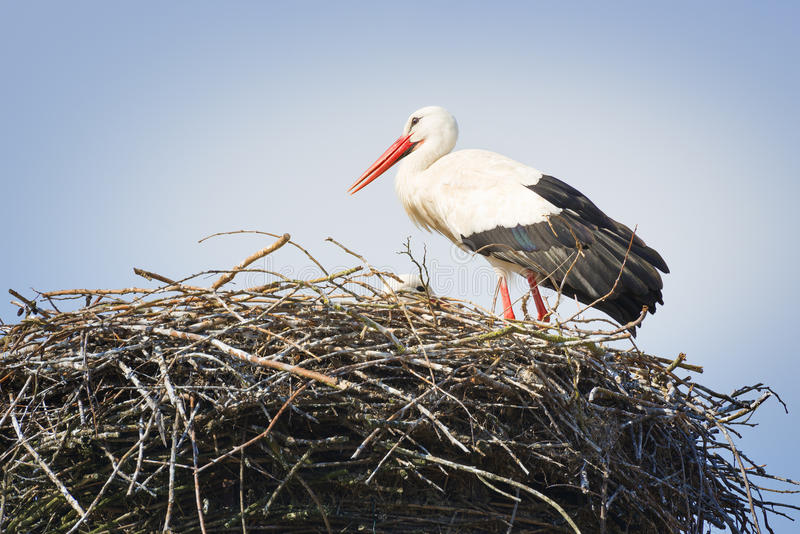 Stork in nest stock photography