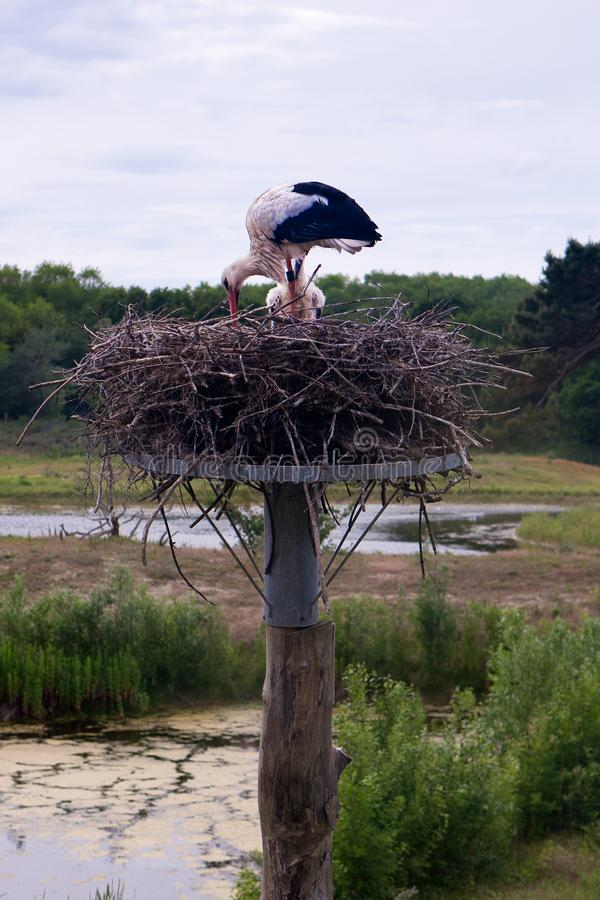 Stork nest Nature reserve, Zwin, Bruges, Sluis, Belgium, Netherlands royalty free stock photos