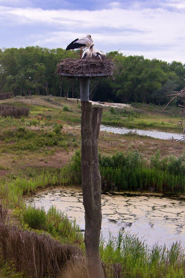 Stork nest Nature reserve, Zwin, Bruges, Sluis, Belgium, Netherlands stock photo