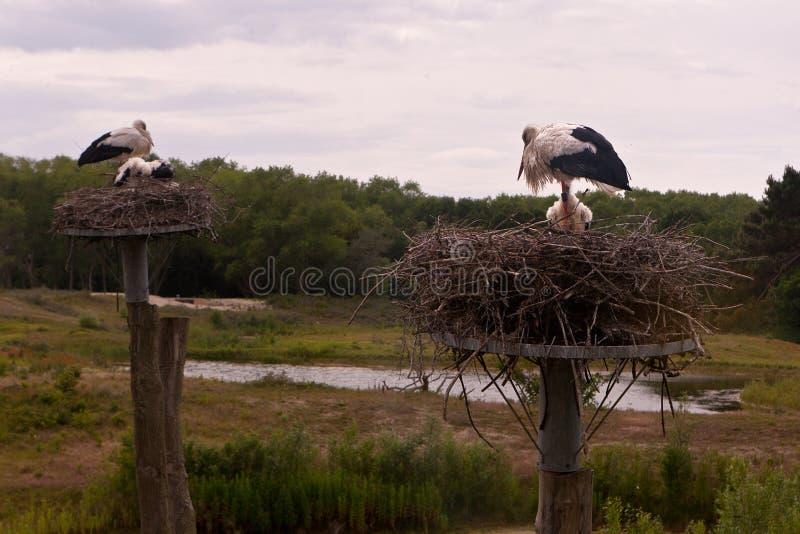 Stork nest Nature reserve, Zwin, Bruges, Sluis, Belgium, Netherlands royalty free stock photo