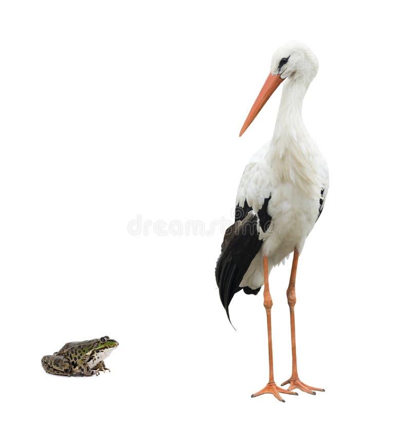 Stork och groda arkivbilder