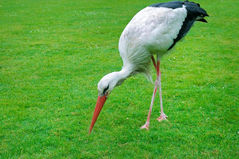 Stork på en bakgrund av den gröna ängen royaltyfri fotografi