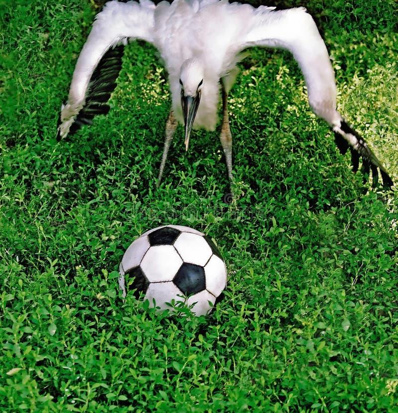 Stork, Phra football. royalty free stock image