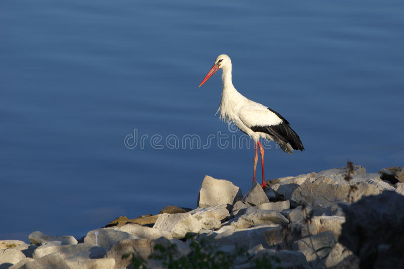 Stork. Picture with stork, which walking on the lake shore stock photo