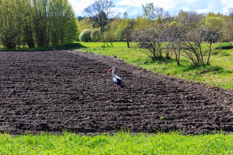 Stork on a plowed field, garden in spring, sunny spring day stock photography