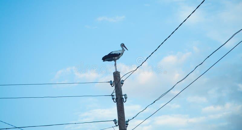 Stork on a power line pole stock photography
