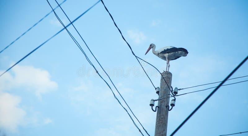 Stork on a power line pole stock image