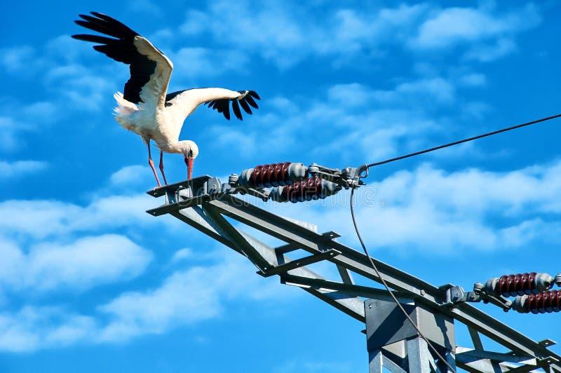 Stork in on power pole. Stork in danger on power pole royalty free stock image