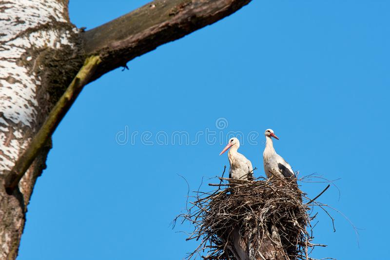 Stork`s nest on a branch of a tall tree with two storks. Blue sky on a day royalty free stock photos