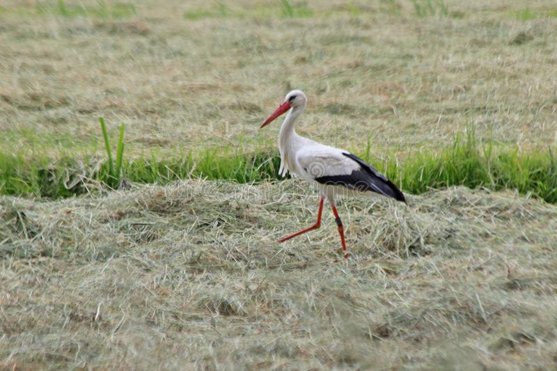 Stork searching for food between drying grass on a meadow. royalty free stock photos