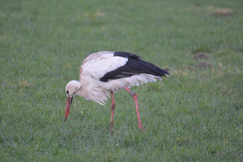 Stork in Abcoude the Netherlands stock image