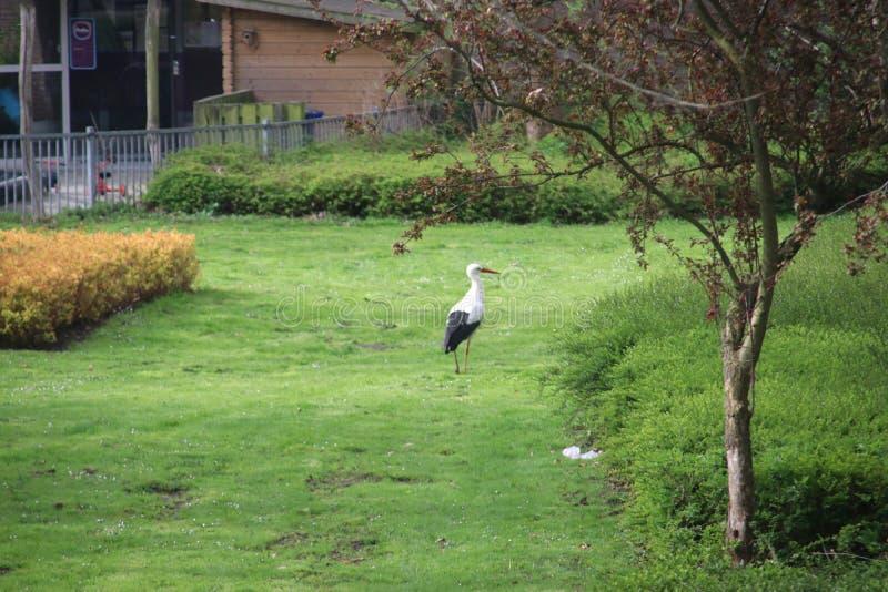 Stork som söker för mat mellan invånarebyggnader i Leidschendam i Nederländerna royaltyfri foto