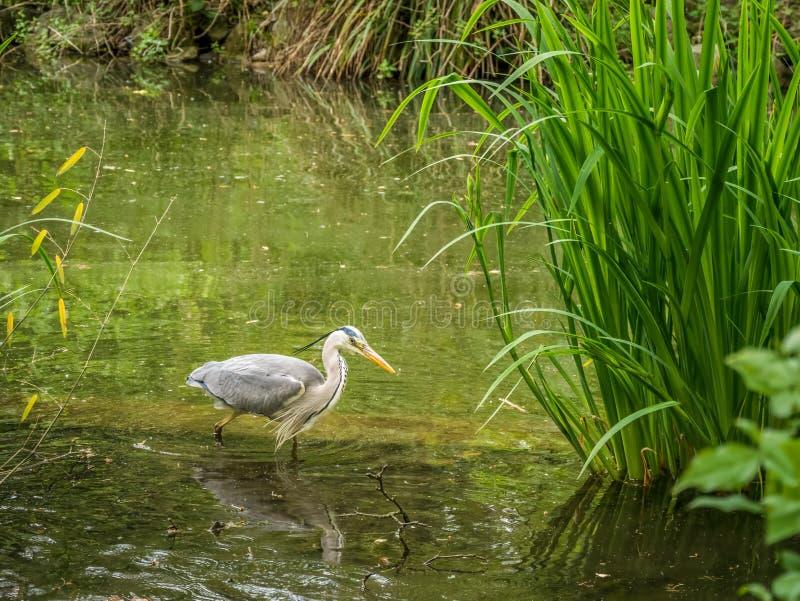 Stork som vadar en sjö i lös natur arkivbilder