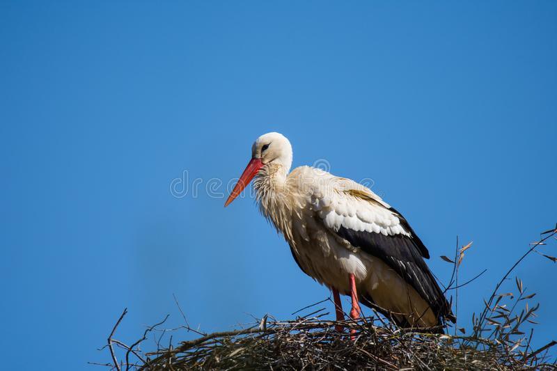 Stork in Spain royalty free stock images