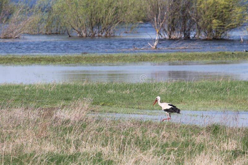 Stork and spring flooding of Pripyat River near Turov, Belarus. Stork and spring flooding of the Pripyat River near Turov, Belarus stock photos