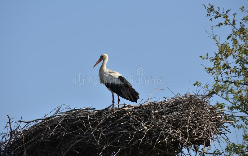 A stork standing in its nest stock photography