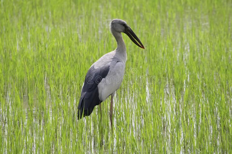 A stork is standing on a rice field stock image