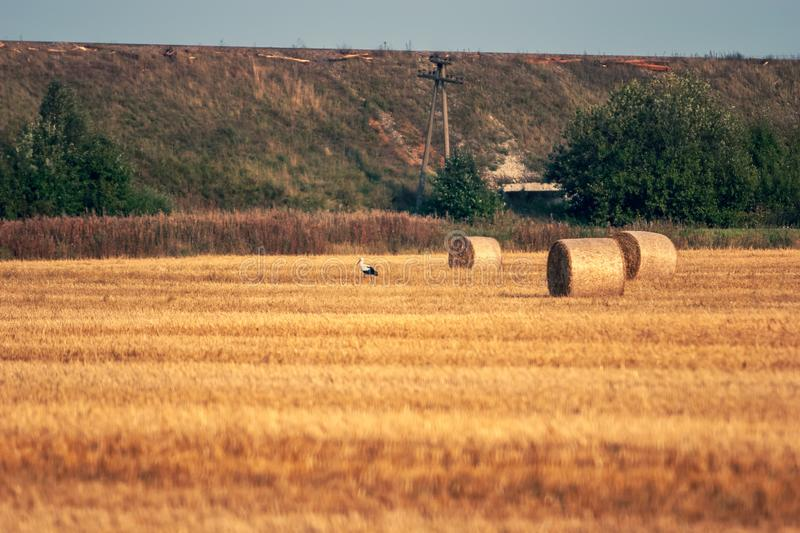 A stork stands on a field with haystacks curled into rolls. royalty free stock photos