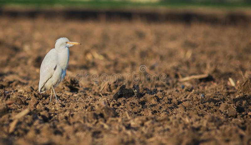 Stork. Gruidae crane occurs outdoor landscape nature birds royalty free stock image