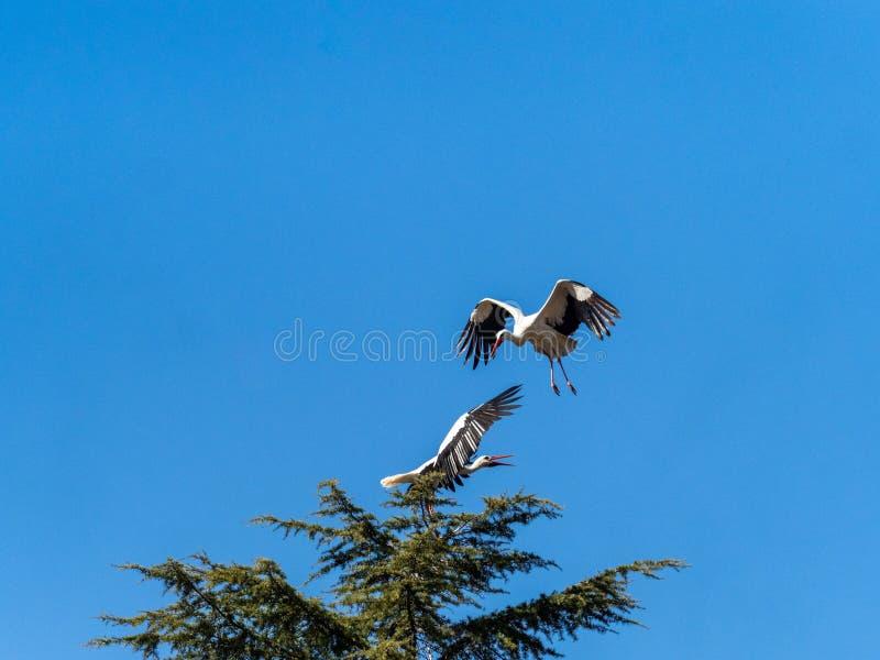 Stork under flygning Boadilla del Monte, Madrid, Spanien arkivfoto
