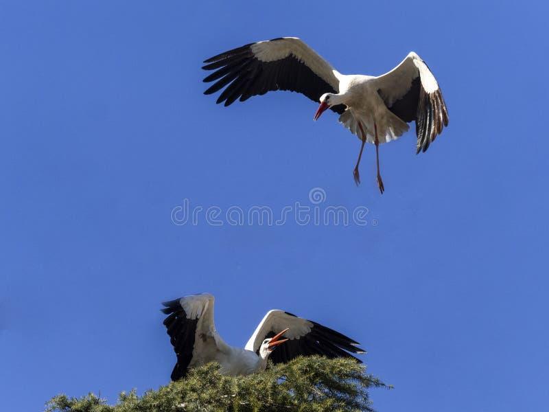 Stork under flygning Boadilla del Monte, Madrid, Spanien arkivbild