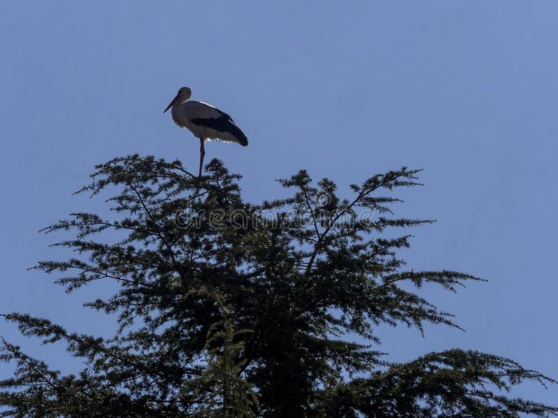 Stork under flygning Boadilla del Monte, Madrid, Spanien royaltyfri bild
