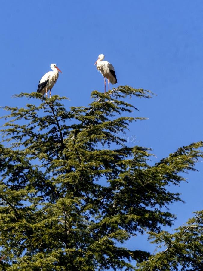 Stork under flygning Boadilla del Monte, Madrid, Spanien royaltyfria bilder