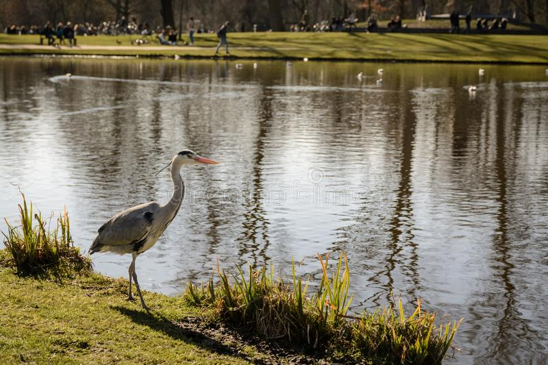 A stork at Vondelpark in Amsterdam Netherlands. March 2015. Landscape format royalty free stock image