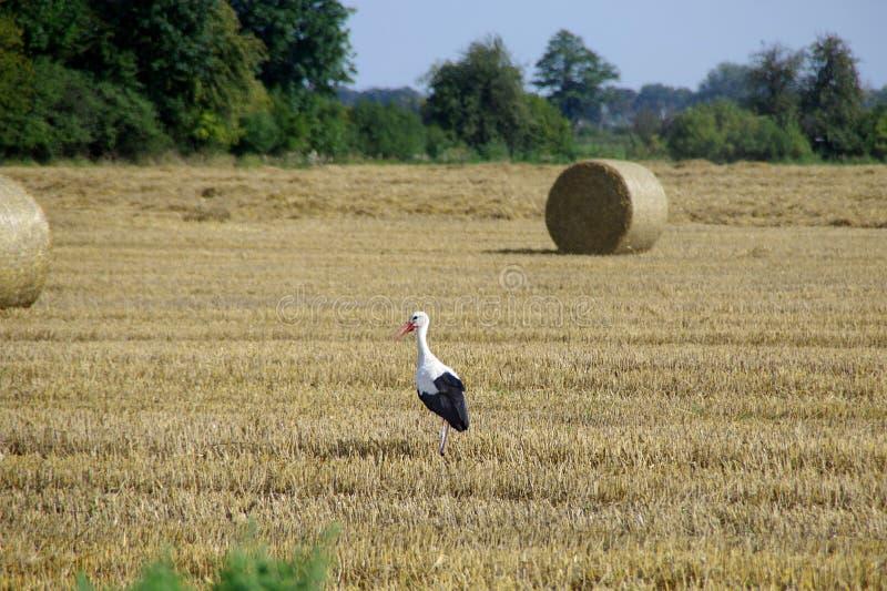 Stork on field. Stork walk on mown field. Wild bird and harvest on farm. European rural scene stock images