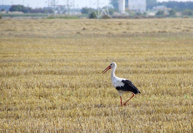 Stork on field. Stork walk on mown field. Wild bird and harvest on farm. European rural scene stock photo