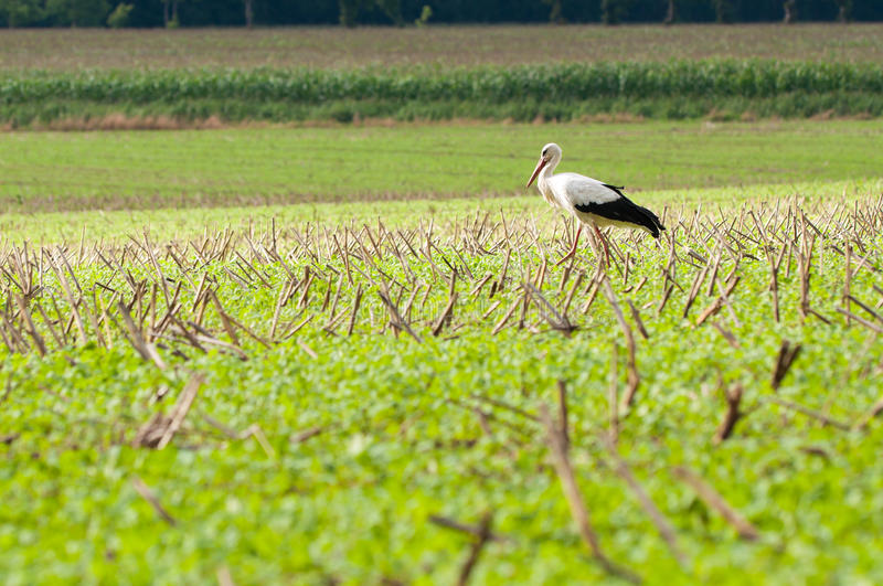 Download Stork Walking On Green Meadow Stock Photo - Image of plant, nature: 18749970