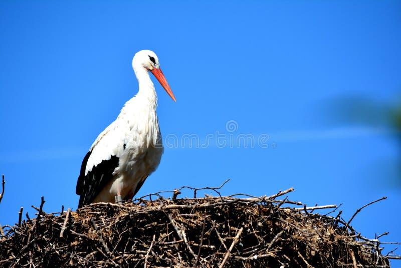 Stork. White bird stock image