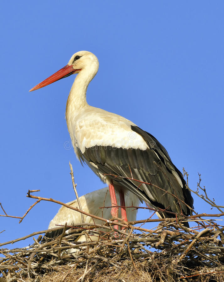 Download Stork stock image. Image of beak, portrait, freedom, care - 30455623