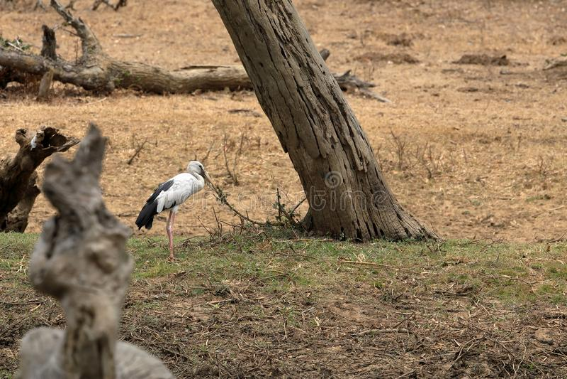 Stork at Yala National Park in Sri Lanka. A Stork at Yala National Park in Sri Lanka stock photos