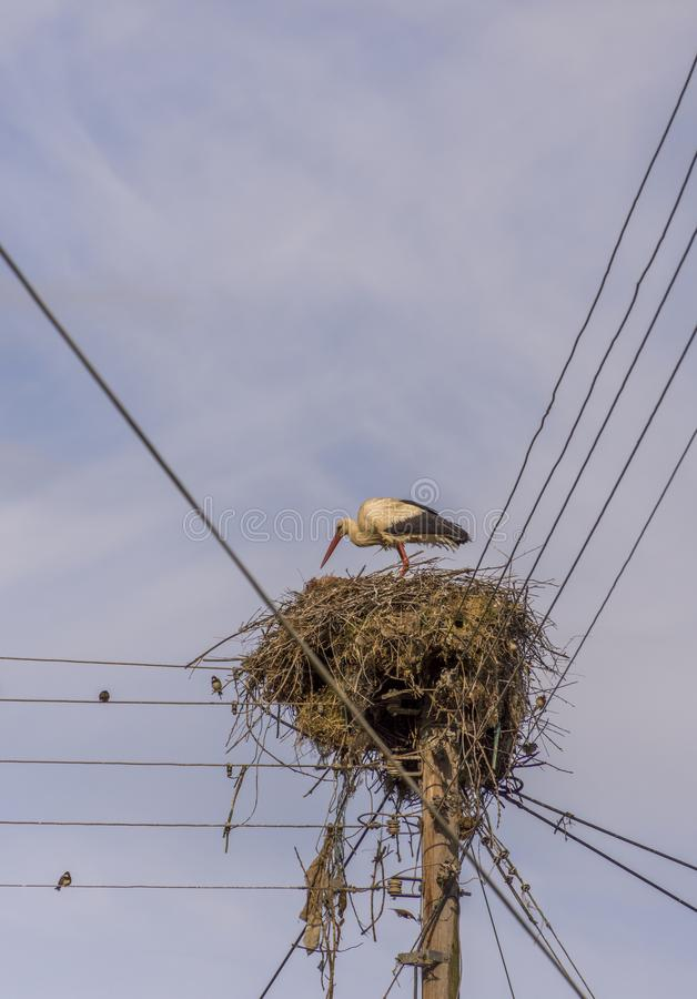 A StorkCiconiidae is building his nest high on electric polls.Lose of habitat has forced these beautiful birds to use other plac. Es for nests.Greece royalty free stock photos