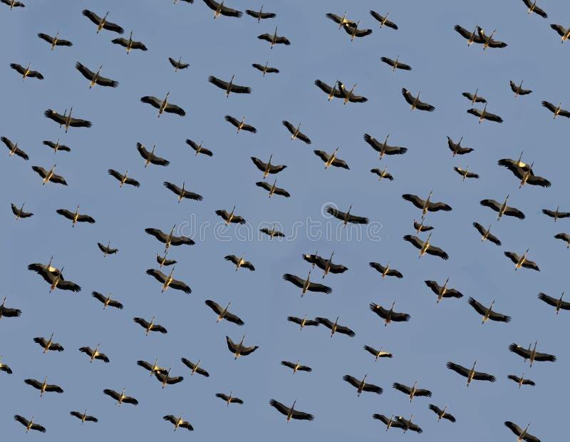 Storkemigration arkivfoton