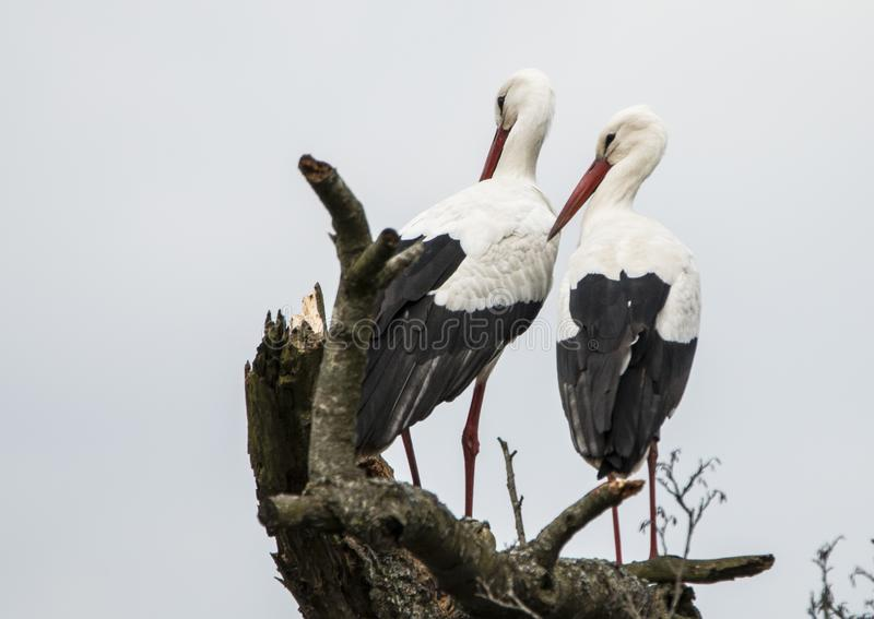 Storken Ciconiaciconia, behandla som ett barn leverans royaltyfri fotografi