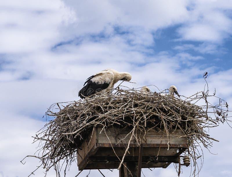 Storkfamiljstork på redet, härligt stort djur, stor fågel arkivfoto