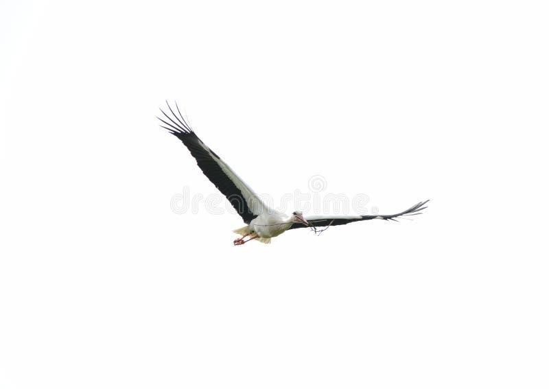 Storkflyg i himlen med vingspridning och filial i näbb royaltyfria bilder