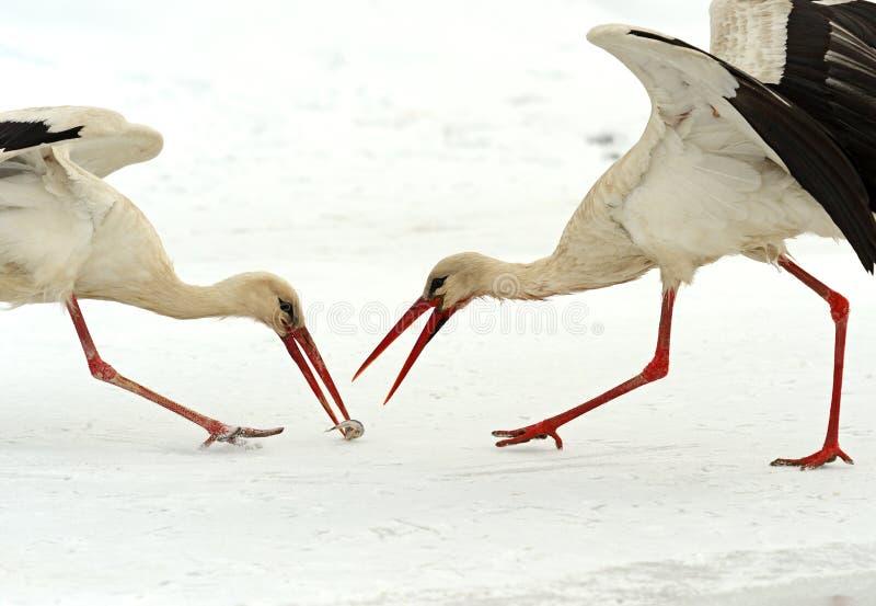 Download Storks stock photo. Image of cautious, wildlife, migratory - 30159226