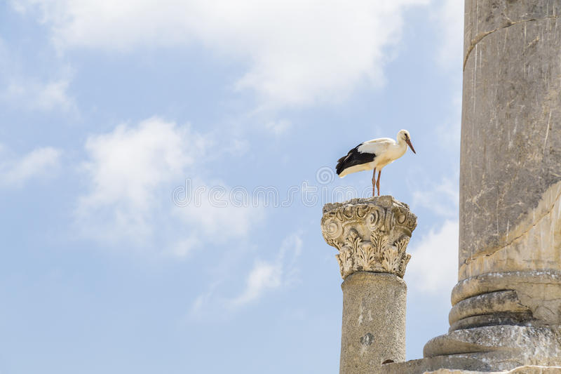 Storks in Ephesus. White Storks Ciconia ciconia nesting on top of a column at the Temple of Artemis, Ephesus, Turkey royalty free stock image