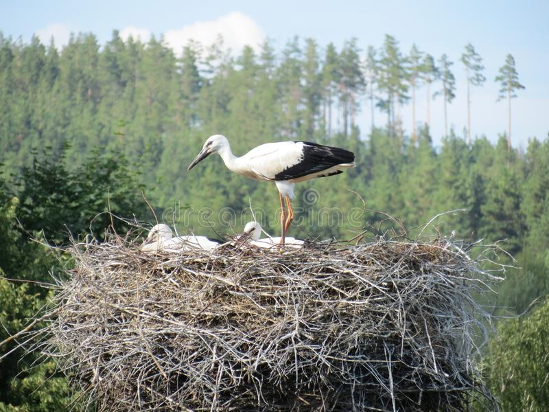 Young storks are getting ready for the flight stock photos